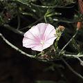 Convolvulus cantabrica-IMG 7130.jpg
