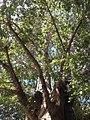 Copa de um dos exemplares de Baobá em Itaberaba na Bahia.jpg