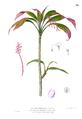 Cordyline fruticosa Blanco1.98.png
