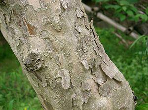 Cornus officinalis - Image: Cornus officinalis 6