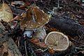 Cortinarius vanduzerensis 134696.jpg
