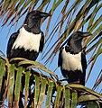 Corvus albus (14911661646).jpg