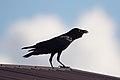 Corvus orru (35324169556).jpg