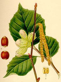 Corylus avellana lindman 3.jpg