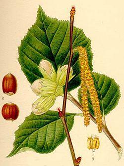 Corylus Avellana Lindman 3 Jpg