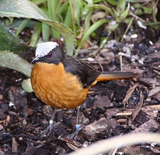 White-crowned robin-chat species of bird