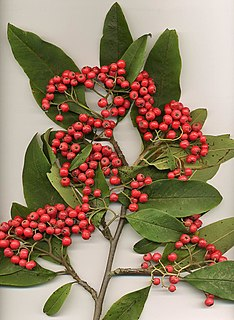 <i>Cotoneaster</i> genus of plants