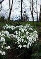 Cottingham Park snowdrops IMG 1190 - panoramio.jpg