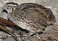 Coturnix coturnix (Lmbuga) (cropped).jpg