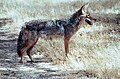 Coyote004 (26841418052).jpg