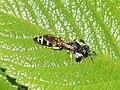 Crabro peltarius 108091165.jpg