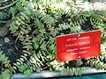 Crassula rupestris - Botanical Garden in Kaisaniemi, Helsinki - DSC03717.JPG