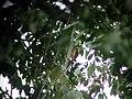 Cream-colored Woodpecker, Sani Lodge, Sucumbíos, Ecuador, July 11, 2004 (6897753643).jpg