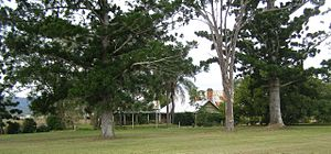 Cressbrook Homestead - Cressbrook Homestead with the bunya pines, 2010