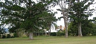 Cressbrook Homestead - Cressbrook Homestead with the bunya pines, 2010