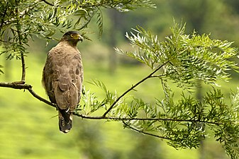 Crested serpent eagle (Spilornis cheela) from the Anaimalai hills JEG4093.jpg