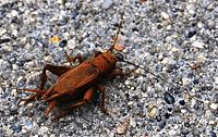 Cricket Insect Taxonomy | RM.