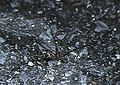 Crossopriza.lyoni.female.-.tanikawa.jpg