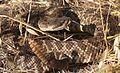 Crotalus oreganus helleri - Southern Pacific Rattlesnake (10304885585).jpg