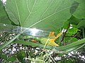 "Cucurbita argyrosperma ""calabaza rayada o cordobesa"" (Florensa) flor femenina F02 antesis regla vista lateral inserción ovario en pedúnculo.JPG"