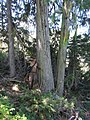 Cupressus nootkatensis at Bear Lake, Siskiyou County, California 1.jpg