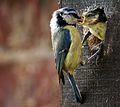 Cyanistes caeruleus -Norfolk, England -adult feeding chick-8 (1).jpg