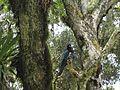 Cyanocorax caeruleus (gralha-azul).jpg