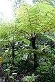 Cyathea spinulosa (Alsophila spinulosa) - Chengdu Botanical Garden - Chengdu, China - DSC03233.JPG