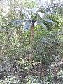 Cycas circinalis-1-mundanthurai-tirunelveli-India.jpg
