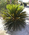 Cycas revoluta. Alicante, España.jpg