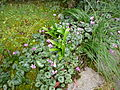 Cyclamen coum & Galanthus woronowii.jpg