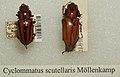 Cyclommatus scutellaris sjh.jpg