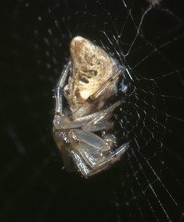 <i>Cyclosa turbinata</i> Species of spider