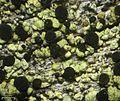 Cyphelium pinicola - Flickr - pellaea (1).jpg