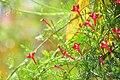Cyprus vine flower2.jpg
