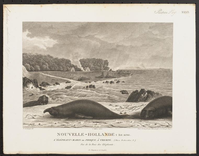 File:Cystophora proboscidea - 1700-1880 - Print - Iconographia Zoologica - Special Collections University of Amsterdam - UBA01 IZ21100123.tif