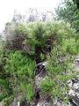 Cytisus filipes kz3.JPG