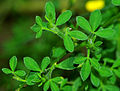 Cytisus scoparius, syn. Sarothamnus scoparius - leaves.jpg