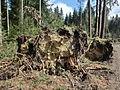 D-BW-SIG-Pfullendorf - Sturmschaden nach Orkan Niklas im Spitalwald 003.JPG
