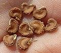 D. innoxia seeds-1.JPG