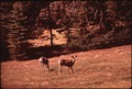 DEER IN KAIBAB NATIONAL FOREST, NEAR THE NORTH RIM OF GRAND CANYON - NARA - 544114.tif