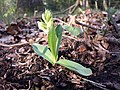 Dactylorhiza sambucina sl26.jpg