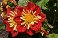 Dahlia 'Starsister Scarlet and Yellow' Flowers.JPG