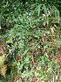Damnacanthus indicus subsp major1.jpg