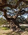 Dancing Oak, Magnolia Cemetary - panoramio.jpg