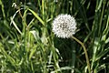 Dandelion closeup at Marymoor Park.jpg