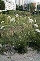 Daucus carota 4.jpg