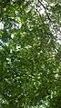 Daun pohon lamtoro.jpg