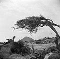 De Hooiberg op Aruba met op de voorgrond een watapana- of dividivi-boom, Bestanddeelnr 252-3433.jpg