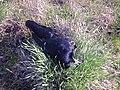 Dead crow.jpg